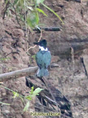 Amazon Kingfisher - Chloroceryle amazona