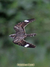 Anthonys Nightjar