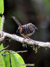 Band-backed Wren_Campylorhynchus  zonatus