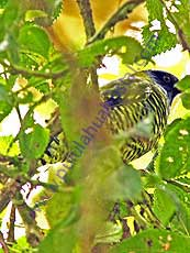 Barred-Fruiteater