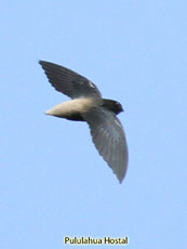 Gray Rumped Swift ??