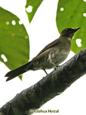 Black-billed Thrush_Turdus Ignobilis