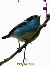 Black-faced Dacnis_Dacnis lineata