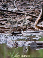 Black-necked Stilt yung