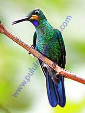 Green-crowned -Brilliant