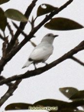 Black-tipped Cotinga