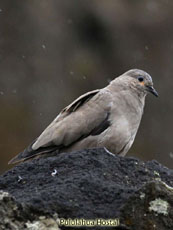 Black-winged Ground Dove