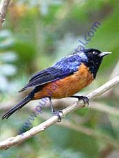 Blue-backed_Conebill