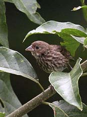 Blue-black Grassquit-female