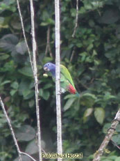 Blue-headed Parrot - Pionnus menstruus