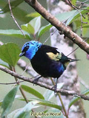 Blue-necked-Tanager