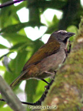 Buff-throated Saltador