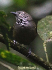 Checker-throated Antwren