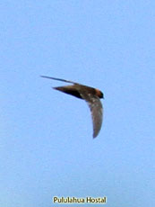 Chestnut-collared Swift