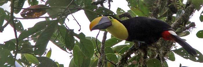 Chestnut-mandibled Toucan_Ramphastos swainsonii-Pano