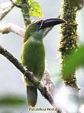 Chestnut-tipped Toucanet - Aulacorhynchus derbianus