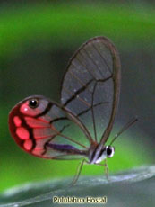 Clearwinged Butterfly