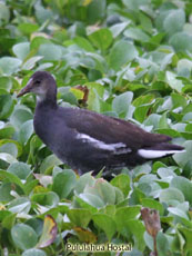 Common Gallinule Juvenile