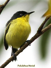 Common Tody-flycatcher_Todirostrum cinereum
