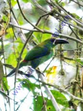 Crimson-rumped-Toucanet