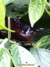 Dot-winged Antwren - Female