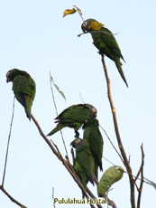 Dusky-headed Parakeet