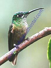 Green-crowned Brillant-Female