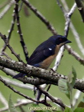 Fawn-breated tanager