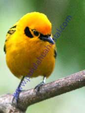 Golden-Tanager