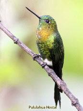 Golden-breasted Puffleg_Eriocnemis mosquera