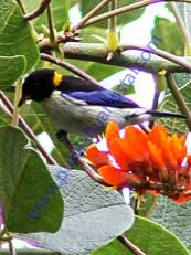 Golden-collared Honeycreeper