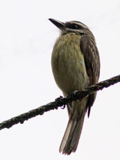 Golden-crowned-Flycatcher