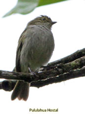 Golden-faced Tyrannulet_Zimmerius chrysops