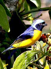 Golden-rumped-Euphonia