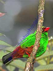 Grass-green-Tanager
