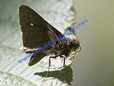 �Grass Skipper