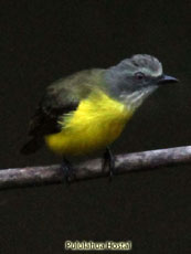Gray-caped Flycatcher