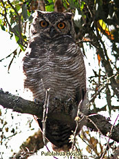 Great-Horned-Owl Buho-virginianus