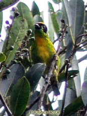 Green-and-Gold Tanager - Tangara schrankii