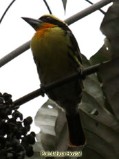 Guilded Barbet