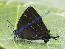 Hairstreak sp