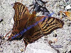 False daggerwing