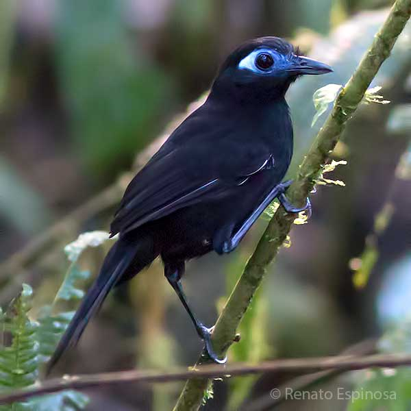 Inmaculate Antbird