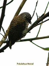 Lafresnayes Piculet - Picumnus lafresnayi