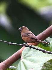 Lesser Seed-Finch