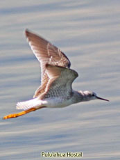 Lesser Yellowlegs_Tringa flavipes