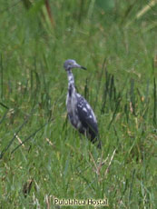 Little-blue Heron Juvenile