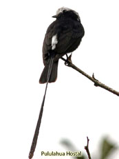 Long-tailed Tyrant - Colonia colonus