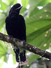Long Wattled Umbrellabird