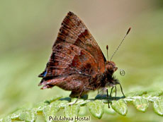 Lycaenidae-Hairstreak penaincisalia